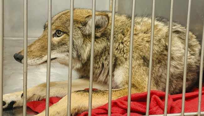 This Friday, Jan. 10, 2020 photo provided by Chicago Animal Care and Control in Chicago shows an injured coyote after it was successfuly located and safely darted with a tranquilizer. (Chicago Animal Care and Control via AP)