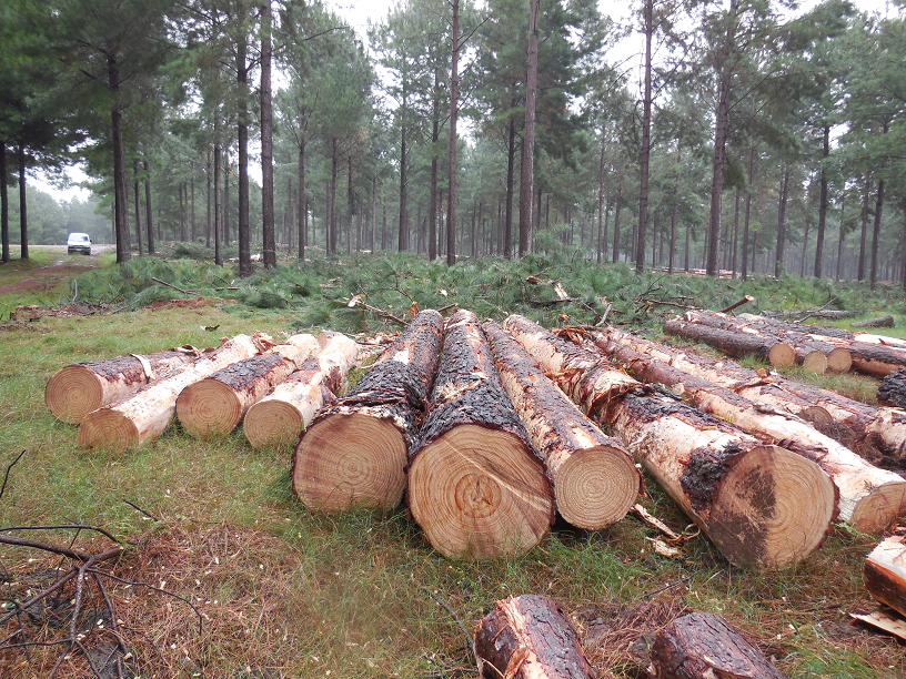 The U.S. Structural Plywood Integrity Coalition claims panels made with southern Brazil plantation-grown loblolly pine and slash pine may not meet the performance requirements of U.S. Voluntary Product Standard PS 1-09 for structural plywood.