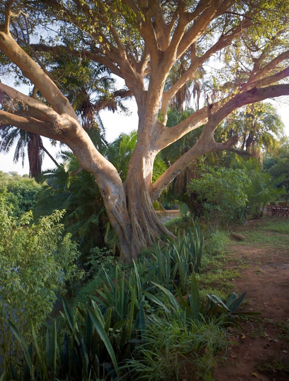 Lemarti's tree