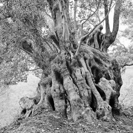 Olive tree 1970