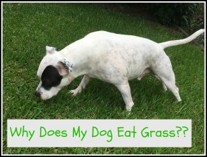 White Staffy leaning down to eat grass with black patch on eye