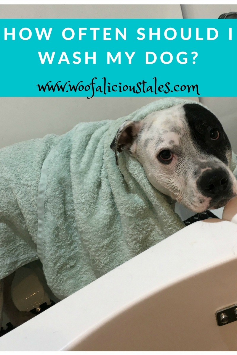 white staffy with black patch on eye in hydrobath with a towel  over him