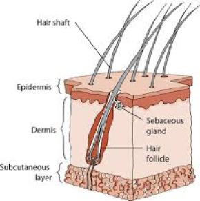 Diagram of the three layers of a dog's skin