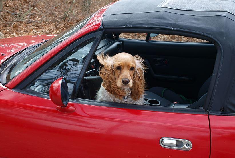carsick pets
