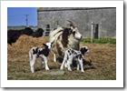 lambs3thb
