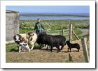 lambs4thb