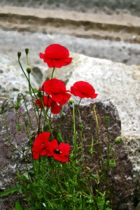 "First Prize ""Digitally Enhanced"" -Poppies on the beach at Carsethorne"