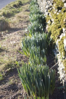 The Daffs at How are coming on - soon be Spring