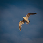fulmar on patrol-12