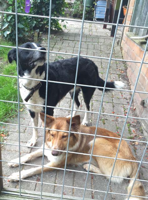 de honden kijken hoe ik werk, zijn banjeren te hard door de tuin en mogen braaf achter het hek...