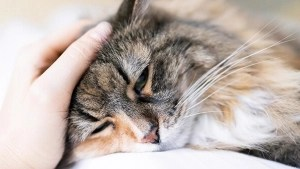 maladies des yeux de votre chat