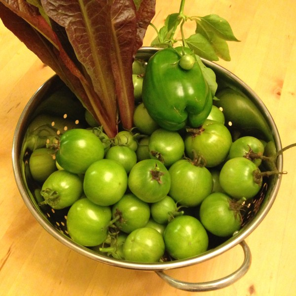 A bunch of green tomatoes