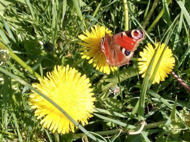 peacock-butterfly-apr19