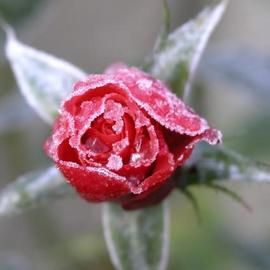 frozen-rose-e-petersen