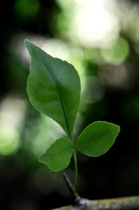 bilva-leaf
