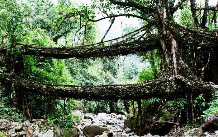 Root bridges in Cherrapunji