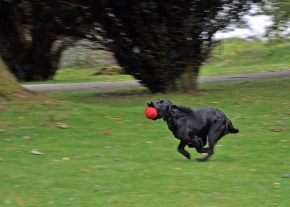 A keen spaniel enjoying a retrieve! Sent in by Carol from Perthshire Gundog Rescue
