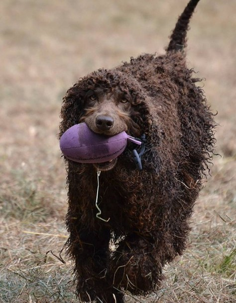Barney the Irish Water Spaniel with his Purple Dummy Sent in by Mick