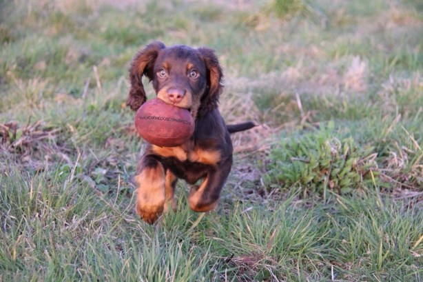 Puppy Cedar with his Red Woodcock Dummy Sent in by Lucy