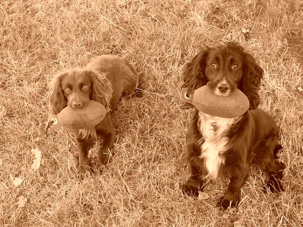 Ellie and Pip after retrieving their Partridge dummies Sent in by Sarah