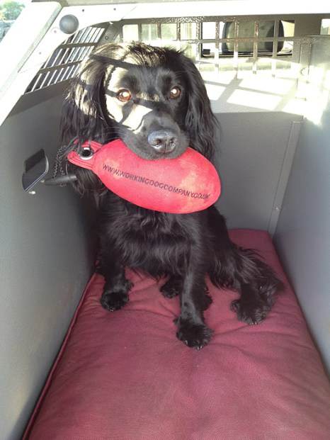 Sam the Spaniel with his Red Partridge Dummy Sent in by Paul