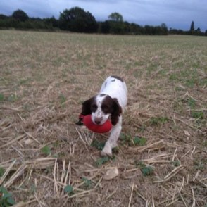 Tigerlily retrieving a Red Partridge Dummy. Sent in by Julie P