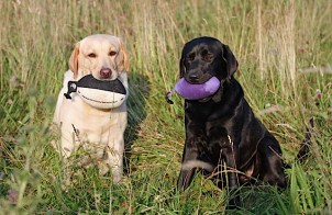 Two lovely labradors enjoying a break from training in the sun. Sent in by Sharon, Woodmist Labradors