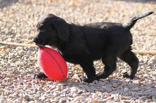 Montegrino Tom Thumb, the Flat Coat puppy, showing off his early retrieving skills! Sent in by Hayley
