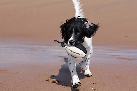 Paddy, the sprocker puppy, enjoying a retrieve on the beach! Sent in by Paula