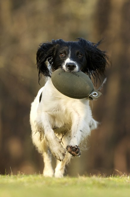 Holly the spaniel, springing in to action! Sent in by Rose