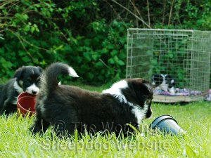 Working Border Collie Puppy playing with a plastic flower pot