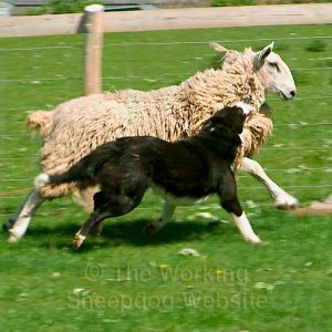 Sheepdog gripping the wool on a sheep