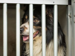 Sheepdog enthusiastically looking out of it's trailer at a sheepdog trial