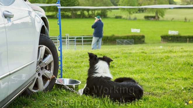 A sheepdog watches one of the runs at a sheepdog trial