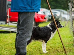Sheepdog and handler standing at the entrance to the trials field