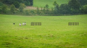 The sheep run around the outside of the fetch gates at Mathon sheepdog trials.