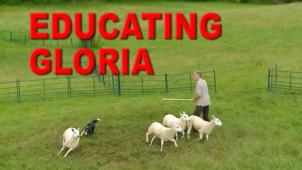 Cover image for our Educating Gloria sheepdog training tutorial