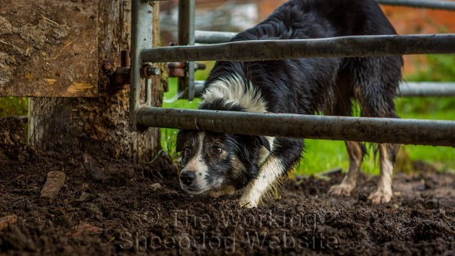 Border Collie sheepdog Carew looking under a gate at the sheep she's just herded into a yard