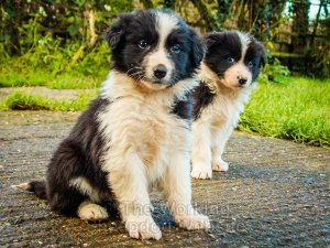 Very cute border collie puppies