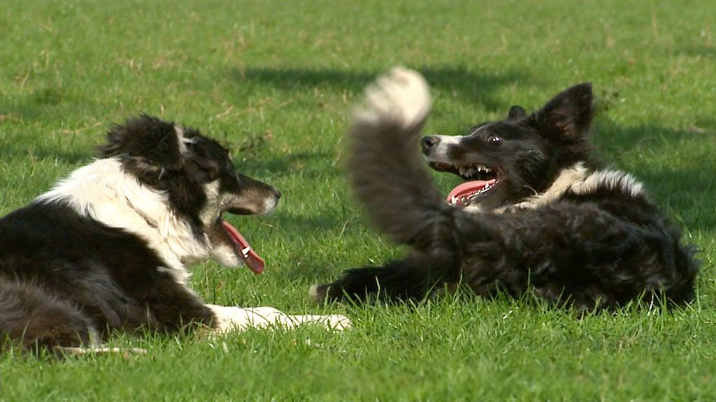 Trainee sheepdogs Bronwen and Scylla
