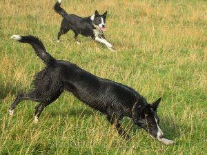 Smooth coated border collie father and daughter