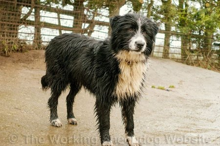 Young Bearded Collie sheepdog