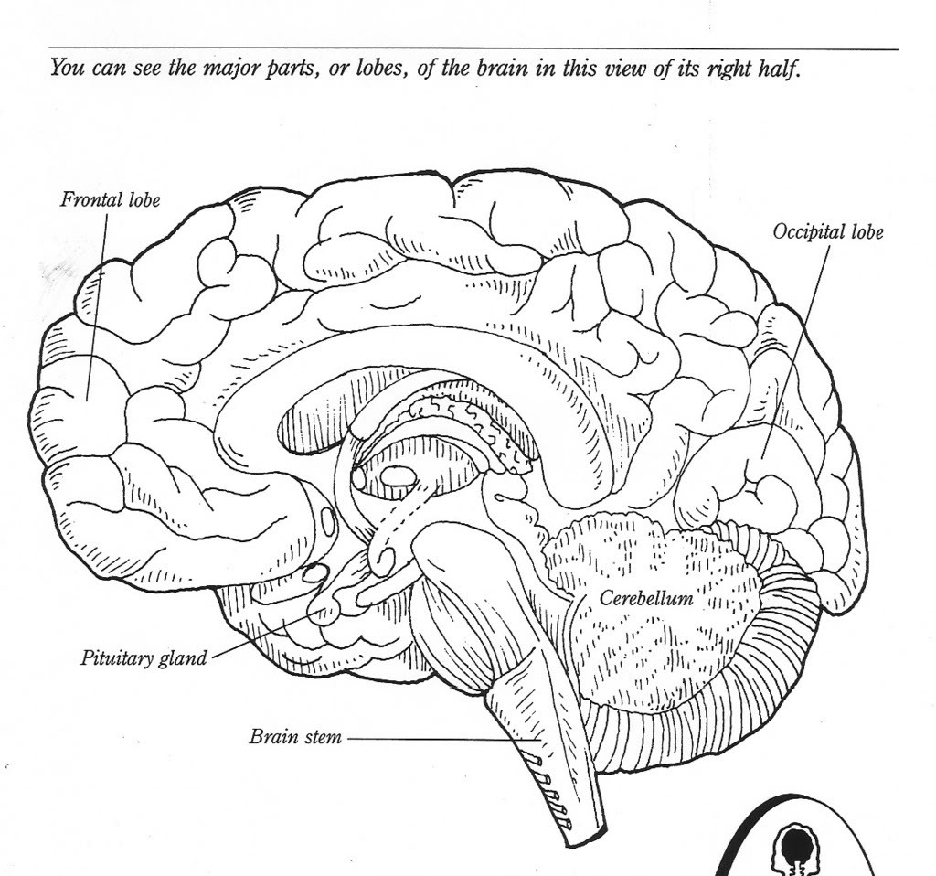 10 Best Images Of The Human Brain Worksheets