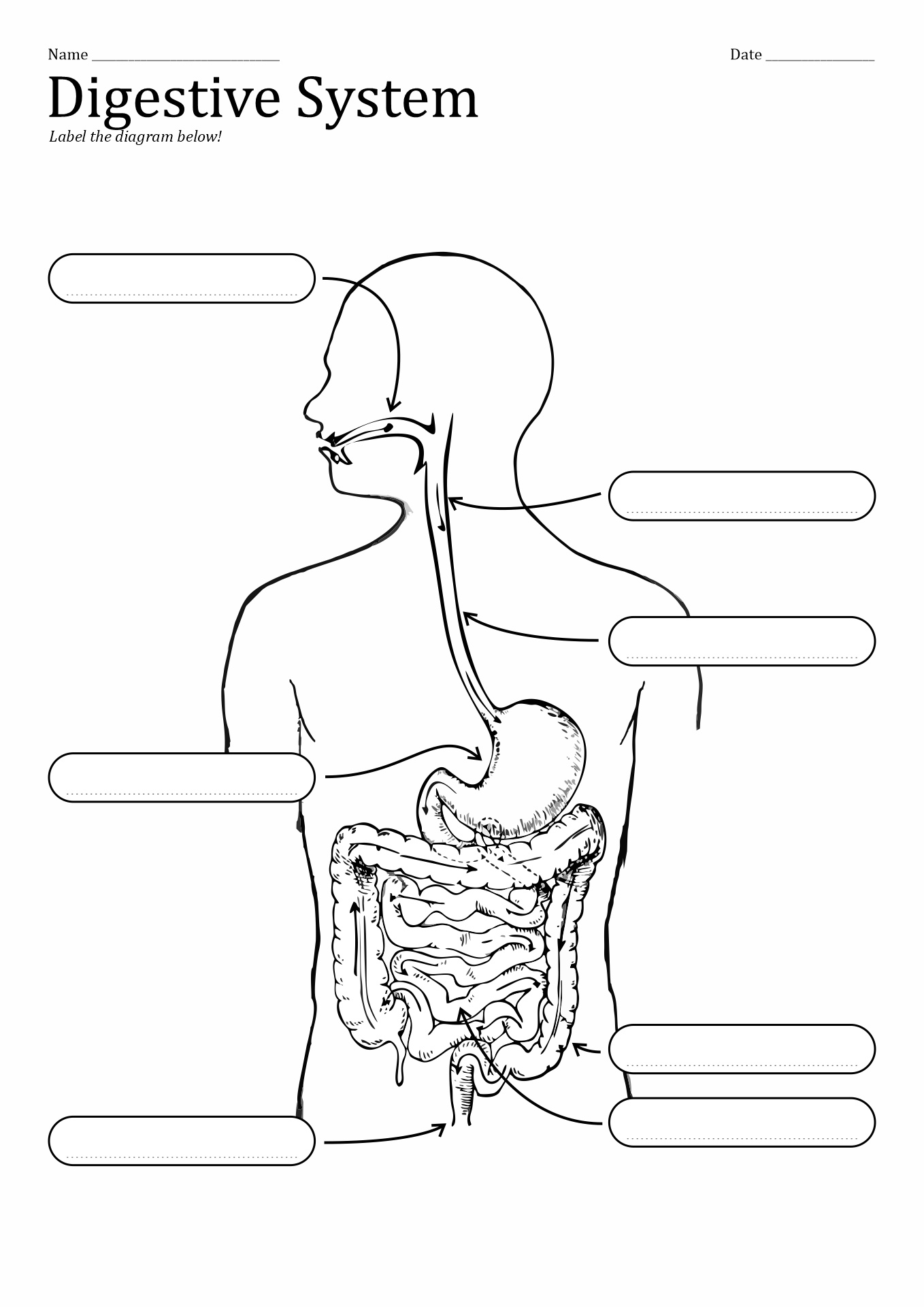 Ruminant Digestive System Unlabled