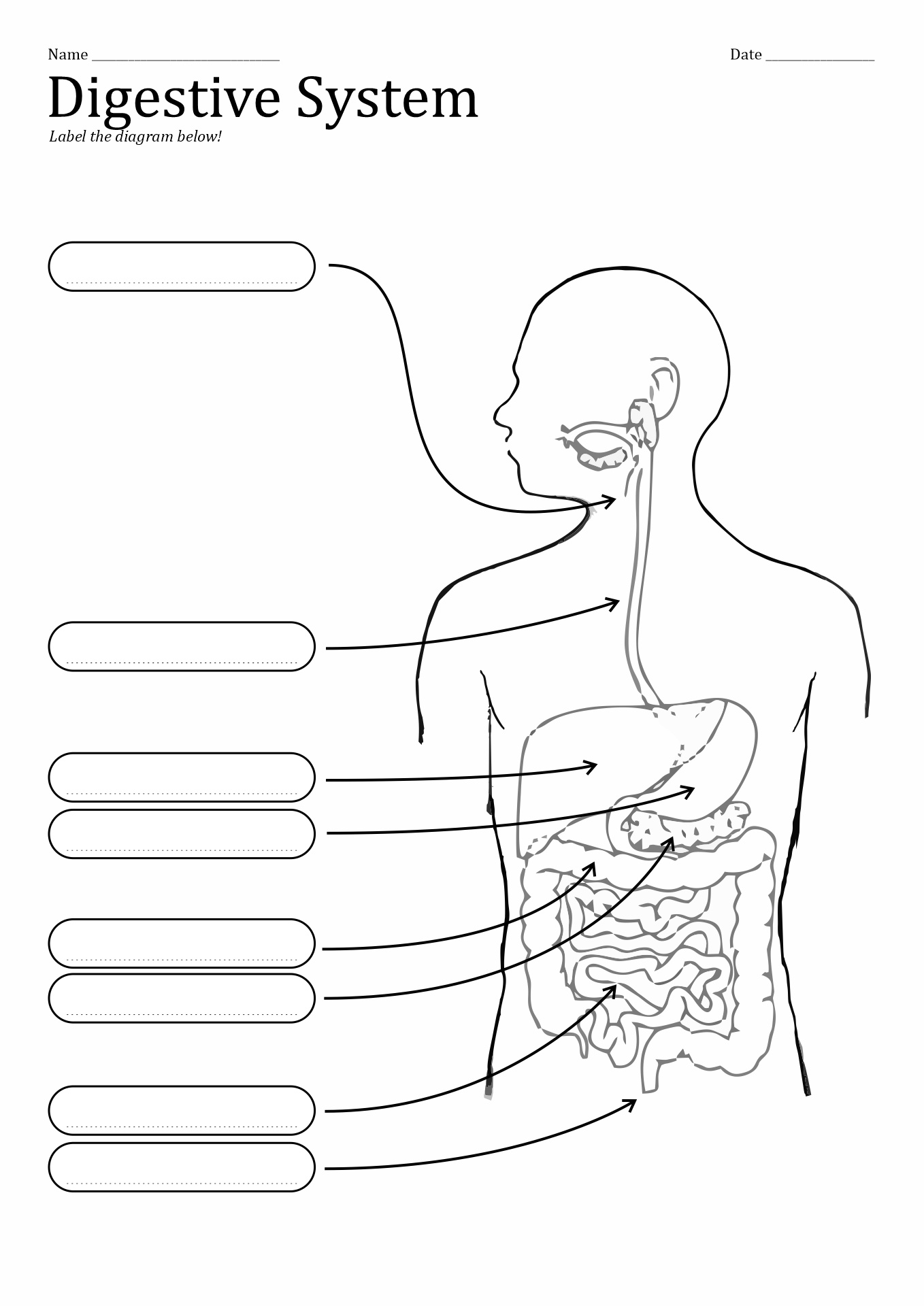 10 Best Images Of Unlabeled Digestive System Diagram Worksheet