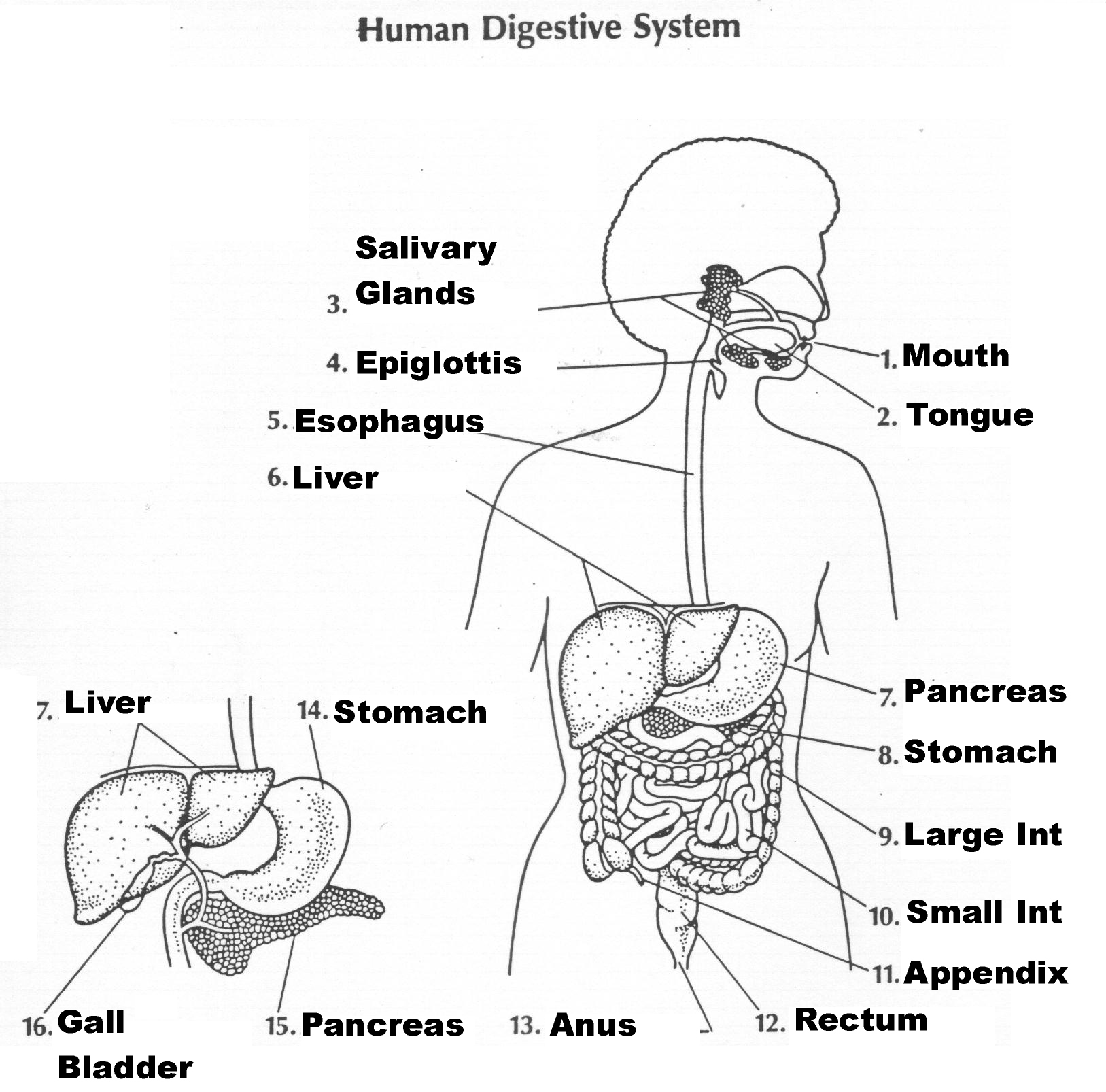 Human Digestive System Diagram Labeled