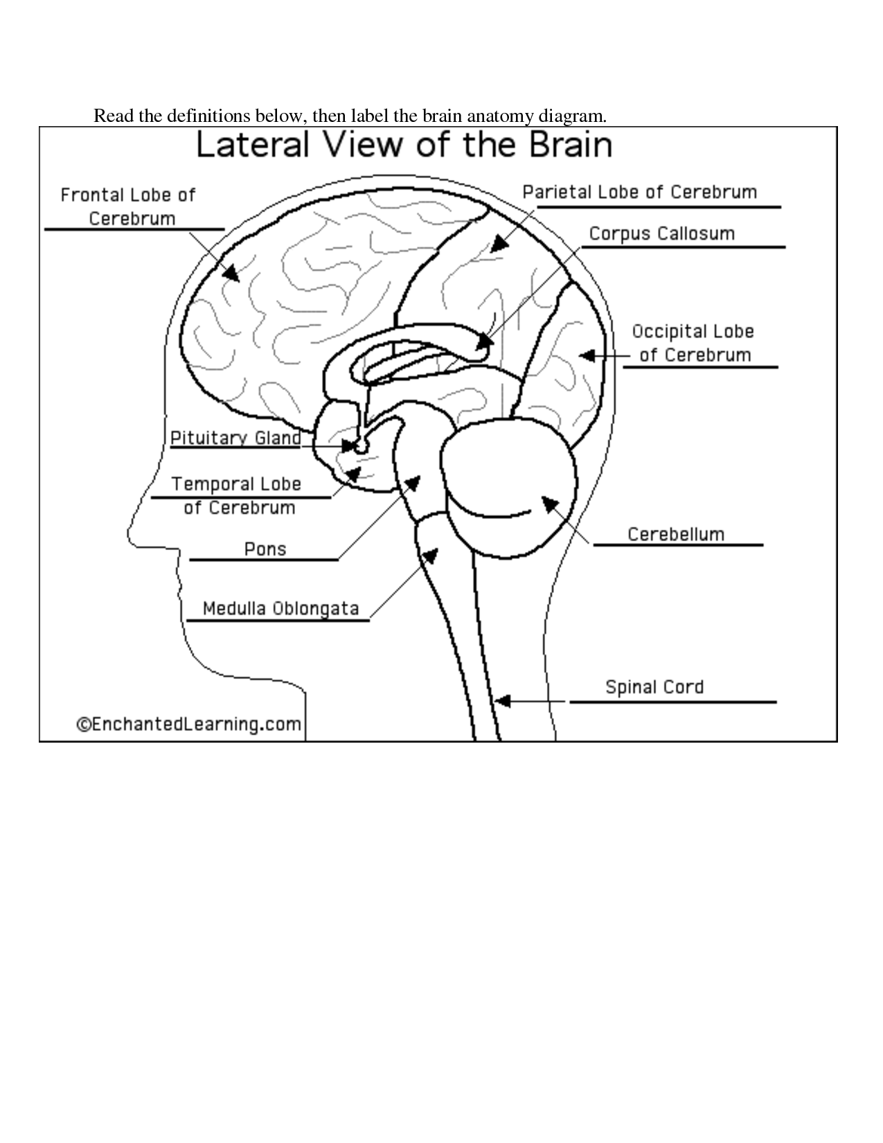 9 Best Images Of Brain Label Worksheet