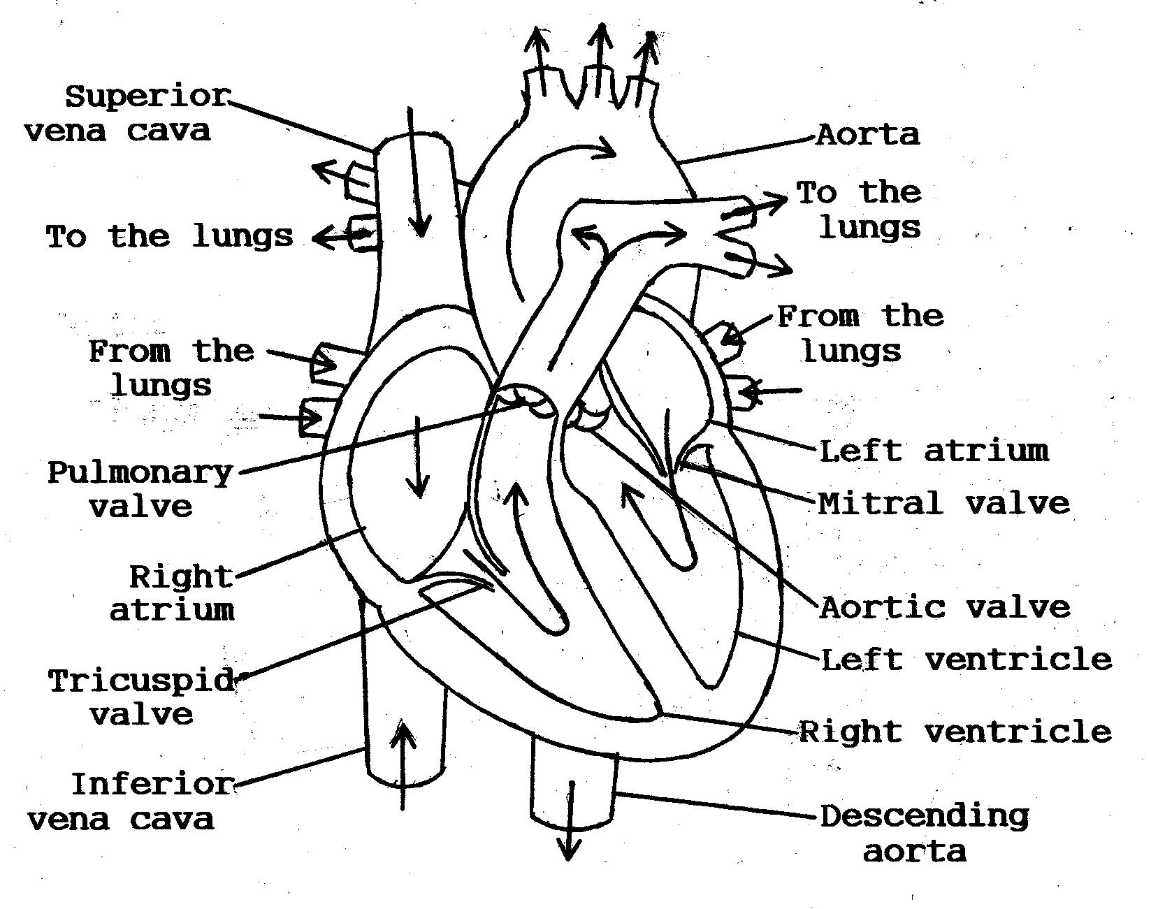13 Best Images Of Heart Diagram Label Worksheet