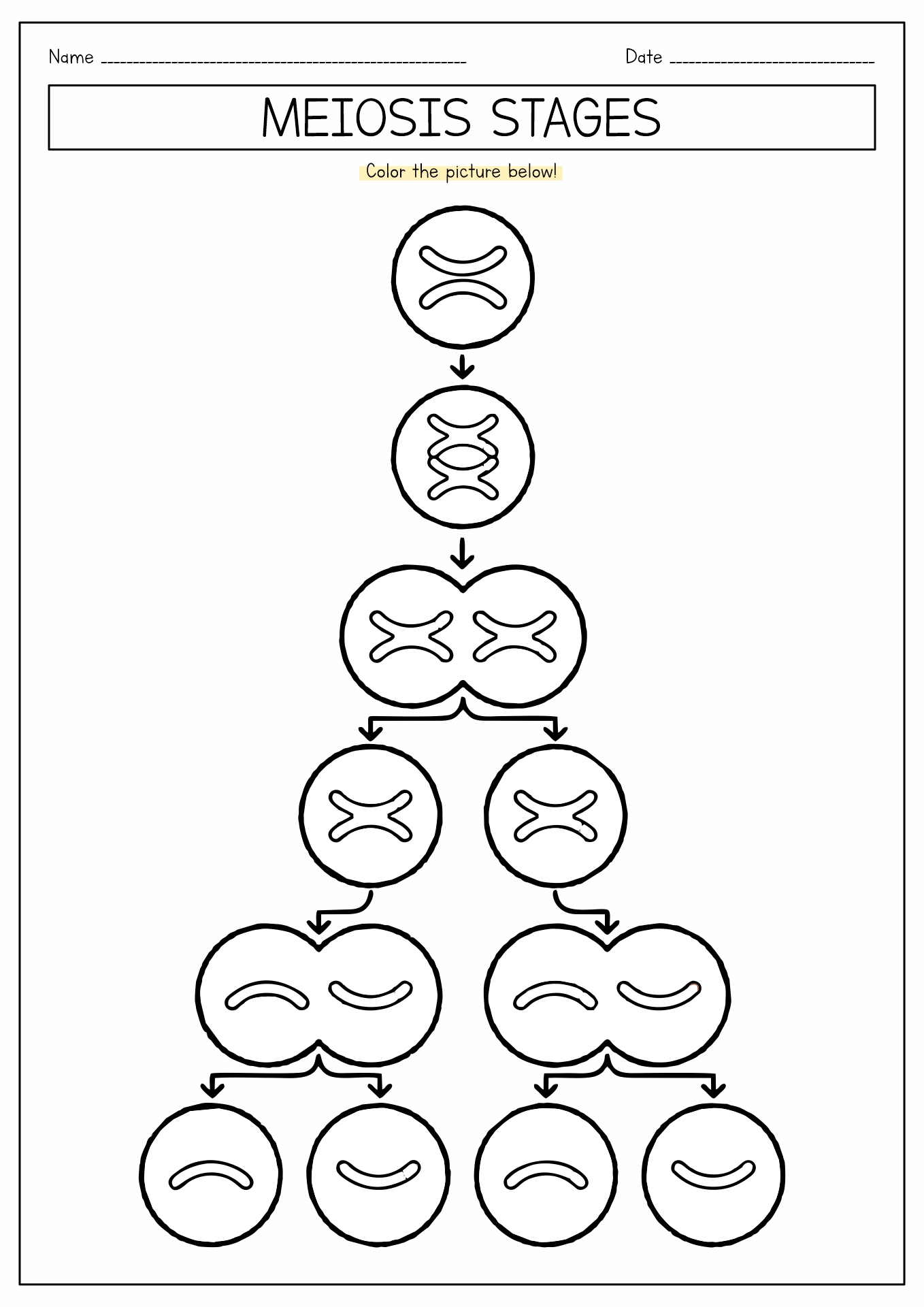 16 Best Images Of Meiosis Diagram Worksheet