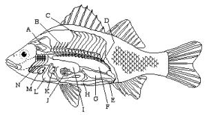 8 Best Images of Fish Labeling Worksheet  Internal Fish Anatomy Worksheet, Children Rainbow